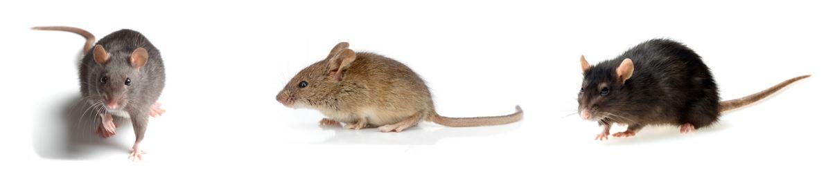 trattamento topi